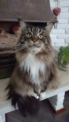 Maine coon isabella