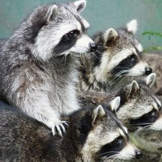 Raccoon family: look kids, can you believe they did that?