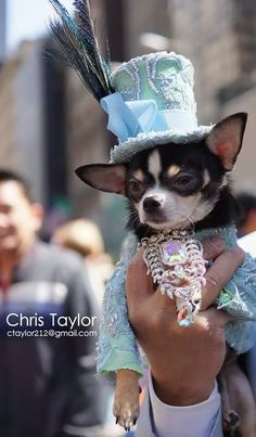 Anthony Rubio Pet Couturier designed this Lime Green and Powder Blue beaded tuxedo with top hat for his celebripup/ Couture Dog/ #chihuahua Bogie to wear to the 2014 New York Easter Bonnet Parade. photo courtesy: Christopher Taylor www.AnthonyRubioDesign.com