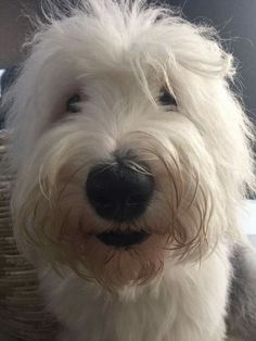 Oes. Old English Sheepdog