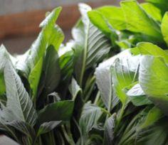 ΣΟΛΥΓΕΙΑ: Βλήτα: Το χόρτο του καλοκαιριού. Plant Leaves, Plants, Plant, Planting, Planets
