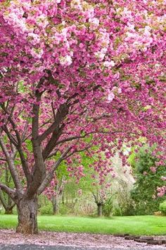 Be my own landscape designer as well love sakura trees if i could not your typical christmas tree trees with flowersflower treepink mightylinksfo