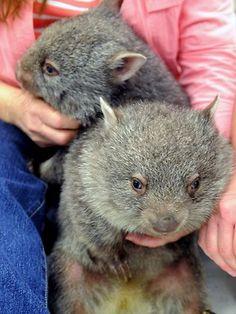 Wombat orphans a handful Cute Wombat, Baby Wombat, Happy Animals, Nature Animals, Cute Animals, Cute Australian Animals, Fur Babies, Animal Babies, Photo Animaliere