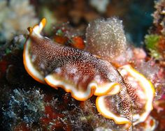 9 bizarre animal mating habits: Flatworms