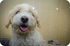 Julian is an adorable Poodle Mix looking for a new forever home. He is available at the Humane Society of New York.
