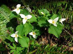 Botanical name: Trillium ovatum  Common names: Western wake-robin, Pacific trillium, western white trillium Origin: Native to western North America, from British Columbia and Alberta south through Washington, Oregon, Montana, Wyoming, northern Colorado and California