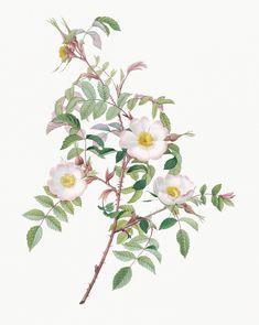 Rose Illustration, Botanical Illustration, Silver Flowers, Small Flowers, Bush Drawing, Provence Rose, China Rose, Damask Rose, Apple Roses