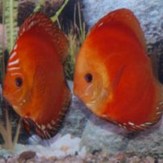 Tropical Freshwater Fish, Tropical Fish, Discus Fish, Fresh Water, Fire, Aquarium, Usa, Goldfish Bowl, Aquarium Fish Tank