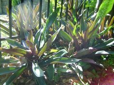 Oyster Plant (Tradescantia Spathacea) Moses-in-the-cradle artVine Nursery