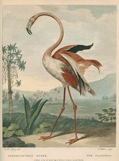 """Ornithological study of the Greater Flamingo (Phoenicopterus roseus). Plate 31 from Museum Leverianum containing select specimens from the museum of the late Sir Ashton Lever...by George Shaw (published by James Parkinson, 1792). The plate is inscribed: """"C.R.Ryley del. J.Fittler sculp. PHOENICOPTEMS RUBER. THE FLAMINGO. Pubd. as the Act directs.July 2 1792 by I.Parkinson. Leverian Museum.""""  Original: copperplate engraving. 1792"""