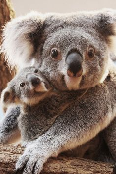 momma and baby koala. Want to go to the koala hospital in new south wales and volunteer with these beautiful creatures Cute Creatures, Beautiful Creatures, Animals Beautiful, Cute Baby Animals, Animals And Pets, Funny Animals, Wild Animals, Koala Baby, Baby Otters