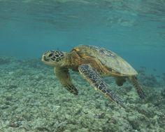I captured this beautiful Hawaiian Sea Turtle a couple years ago while snorkeling at Kahalu'u Beach Park, Big Island, Hawaii. It was so much fun swimming along side it. Kinds Of Turtles, Cute Turtles, Sea Turtles, Kohala Coast, Hawaiian Sea Turtle, Kona Hawaii, State Birds, Big Island, Seashells