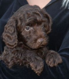 Looks just like my Cocker Spaniel! Except mine doesn't have and Poodle in him! Chocolate Poodle, Chocolate Labradoodle, Golden Retrievers, Australian Labradoodle Puppies, Miniature Labradoodle, Cute Puppies, Dogs And Puppies, Baby Animals, Pets
