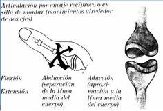 Diartrosis (ENCAJE RECIPROCO)
