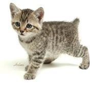 Pixiebob Kitten