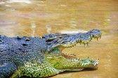 Borneo crocodile at Crocodile
