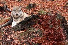 wolf, bavarian forest, autumn