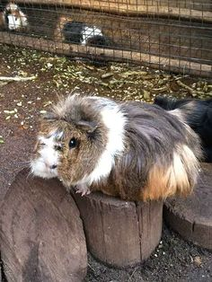 Giant guinea pigs at Butterfly world Guinea Pigs, Outdoor Activities, Butterfly, Outdoors, Colours, World, Animals, Animales, Animaux