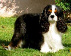 Black Tri Cavalier King Charles Spaniel <3