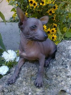 Xoloitzcuintli, Mexican Hairless Dog.