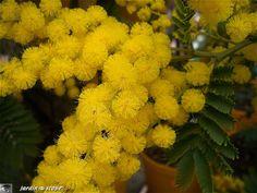 Le mimosa, un arbre à floraison hivernale