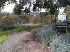 Lavender Drive African Holidays, Lavender, Country Roads, Garden, Plants, Garten, Flora, Plant, Lawn And Garden