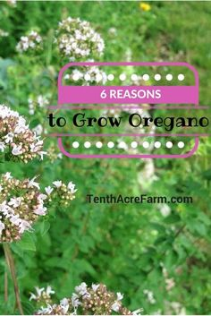 Oregano is one of the most popular perennial herbs to grow in an herb garden. Here are six reasons why you should add oregano to your garden.