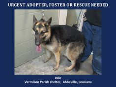 URGENT! WILL DIE 7/6/14  Jolie is a female Germ. Shep. and is 3 yrs old and weighs 41 lbs. Will be available 7-6-14. http://www.youcaring.com/nonprofits/jolie-shepherd-070114/198003 *Please note this animal is not with AAVA - we are networking for rescue as the liason for the shelter* This baby is in a kill shelter in Abbeville, LA which does not allow public adoptions. Animals must be pulled by an approved rescue or can be adopted through AAVA