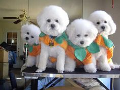 Four bichon frises ready for Halloween parade