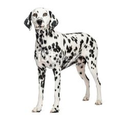 Dalmatian standing, isolated on white Royalty Free Stock Photo