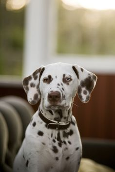 AWW :) I had a dalmatian as a kid.  Mine was the black and white though.  Not the liver spotted like this handsome boy :)