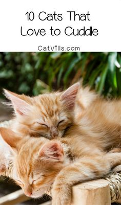 Whats almost as goo Whats almost as good as cuddling with your kitty? How about insanely cute cat pictures of kitties who love to cuddle too! Cute Funny Animals, Cute Baby Animals, Funny Cats, Kittens Cutest, Cats And Kittens, Kitty Cats, Best Cat Breeds, Cat Brain, Best Cat Food