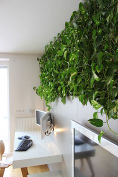 The living wall is made up of golden pothos plant.   The plants get light from…