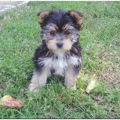 Maltese/Yorkie mix puppy Looks like my Zeusy as a puppy! Maltese Yorkie Mix, Yorkie Puppy, Yorkies, Baby Puppies, Cute Puppies, Dogs And Puppies, Animals And Pets, Baby Animals, Cute Animals