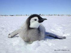 pingouins - Recherche Google