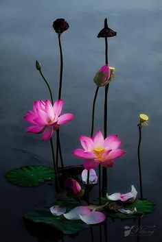 lotus flowers - the fallen petals resting of the surface of the water is really beautiful