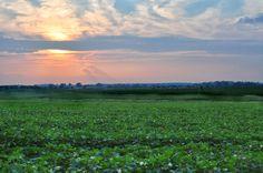 Cotton Field at Sunset Noxubee County MS http://hickoryridgestudio49.blogspot.com