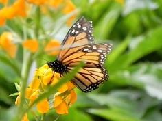 The Siberian #Wallflower is a Welcome Sight for Returning #Spring #Monarchs. What are some others?: http://monarchbutterflygarden.net/5-spring-plants-save-monarch-butterflies/