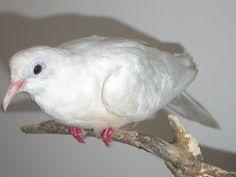 Dove - Peace Birds, Peace, Animals, Animaux, Bird, Animal, Animales, Sobriety, World