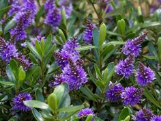 Hebe 'Heebie Jeebies' is a perennial shrub with profuse bluish mauve flower spikes from late winter to spring. This is an easy care plant. It tolerates extremes such as frost, heat and coastal conditions. It is a hardy and disease resistant plant. It likes a sunny to part shaded position. it is good for informal low hedges, for containers and small gardens. Prune lightly after flowering to keep compact, and feed with a good general purpose fertiliser in spring.