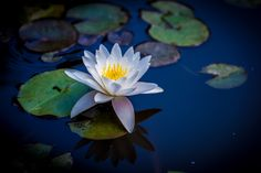 Photo Water Lily (Nymphaeaceae) by Jianhua Zhang on 500px