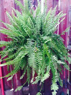 Fern Boss! Tropical Backyard, Ferns, Boss, Canning, Plants, Home Canning, Fern, Plant, Tropical Garden