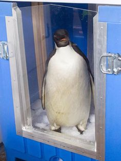 "Emperor penguin ""Happy Feet"" sits in Wellington, New Zealand MOnday in a special crate before making the four-day journey to the southern oean east of Campbell Island. Emperor Penguin, Toronto Star, Crate, Southern, Journey, Ocean, Birds, Island, Happy"