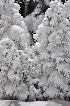 Snow-laden trees