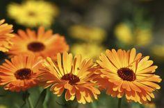 Cómo plantar caléndula. La caléndula es una planta conocida por el uso medicinal…