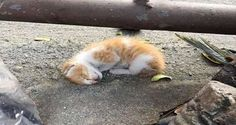 They thought this wee ginger was dead. The kitten was laying on the street alone and showing no signs of motion until they saw a tiny leg give that twitch of hope.    This poor kitten was