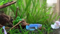 Betta Fish Types, Betta Fish Care, Betta Aquarium, Planted Aquarium, Goldfish Tank, Aqua Culture, Betta Tank, Beta Fish, Aquarium Design