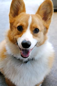 Corgis are absolutely the cutest | Credits to owner #Dogs #Corgi