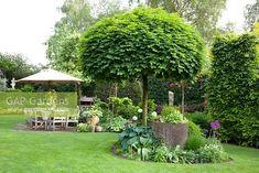 GAP Gardens - Country garden with patio. Clipped Acer platanoides ...