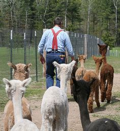 We are a month away from National Alpaca Farm Days....maybe some alpacas will follow you. Visit a farm and find out!